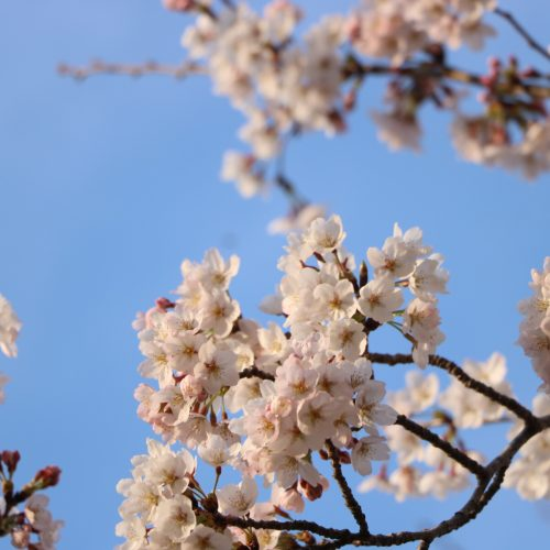 桜の見頃終了しました